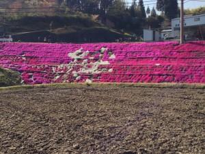 [山口]これは見事な芝桜!いのちを育みふるさとを感じる周南市大通理(鹿野地)