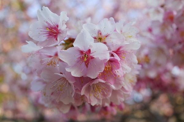 [山口]防府市向島小学校にある山口県指定天然記念物「寒桜」をみてきました