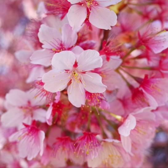 [山口]綺麗♪今年も早咲きの寒桜を見に行ってきました防府市にある向島小学校
